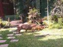 Capivara invade casa e 'aproveita' piscina do imóvel em Itaipu, Niterói